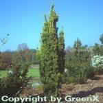 Gelbe Säuleneibe 25-30cm - Taxus baccata Fastigiata Aureomarginata