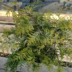 Zypresse Sunny Kiss 40-60cm - Chamaecyparis lawsoniana
