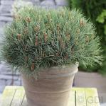 Kugelschnitt Silberkiefer 40-50cm - Pinus sylvestris