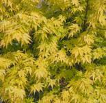 Fächerahorn Katsura 100-125cm - Acer palmatum