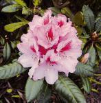 Großblumige Rhododendron Diadem 40-50cm - Alpenrose