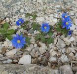 Balkanwindröschen Blue Shades - Anemone blanda