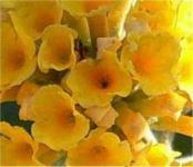 Sommerflieder Sungold 60-80cm - Buddleja weyeriana