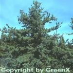 Blaue Mädchenkiefer Glauca 60-80cm - Pinus parviflora