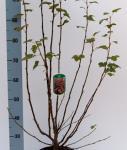 Blut Zierjohannisbeere Atrorubens 80-100cm - Ribes sanguineum