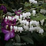 Zwergherzblume Pearl Drops - Dicentra formosa