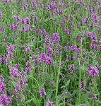 Heil Ziest - Stachys officinalis