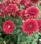 Winteraster Brockenfeuer - Chrysanthemum hortorum