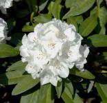 Großblumige Rhododendron Helene Schiffner 40-50cm - Alpenrose