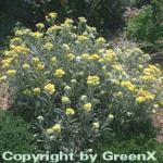 Garten Strohblume Schwefellicht - Helichrysum thianshanicum