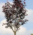 Hochstamm Blutpflaume 100-125cm - Prunus cerasifera