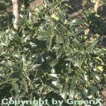 Stechpalme Ilex Heckenstar® 100-125cm - Ilex meserveae