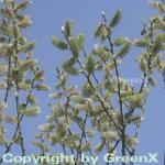 Salweide 100-125cm - Salix caprea