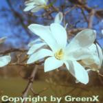 Kobushi Magnolie 100-125cm - Magnolia kobus