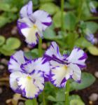Hornveilchen Rebecca Cawthorne - Viola cornuta
