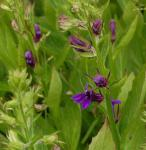 Prachtlobelie Fan-Blue - Lobelia speciosa