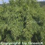 Gartenbambus Standing Stone 125-150cm - Fargesia murielae