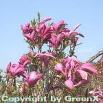 Hochstamm Niedrige Magnolie Susan 80-100cm - Magnolia liliiflora