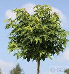 Hochstamm Kugel Amberbaum Gumball 40-60cm - Liquidambar styraciflua