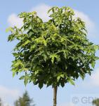 Hochstamm Kugel Amberbaum Gumball 60-80cm - Liquidambar styraciflua