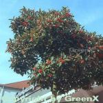 Apfeldorn 100-125cm - Crataegus lavallei