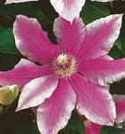 Waldrebe Carnaby 60-80cm - Clematis