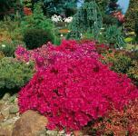 Japanische Azalee Purpurkissen® 15-20cm - Rhododendron obtusum - Zwerg Alpenrose