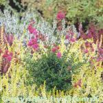 10x Irische Heide Arielle - Daboecia cantabrica
