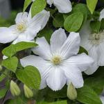 Waldrebe Madame Le Coultre 100-125cm - Clematis