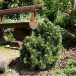 Hakenkiefer 40-60cm - Pinus uncinata