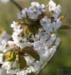 Vogelkirsche Sußkirsche 100-125cm - Prunus avium