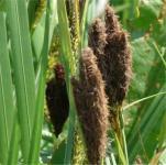 Ufersegge - Carex riparia