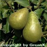 Birne Conference 60-80cm - feinwürzige Früchte