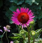 Sonnenhut Vintage Wine - Echinacea purpurea