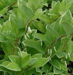Salomonspiegel Variegatum - Polygonatum falcatum