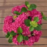 Bauernhortensie Red Angel 40-60cm - Hydrangea macrophylla