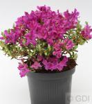 Wild Rhododendron prostratum 10-15cm - Rhododendron prostratum