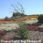 Riesen Pfeifengras Windspiel - Molinia arundinacea