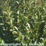 Ovalblättrige Liguster 125-150cm - Ligustrum ovalifolium