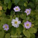 Rautenanemone Pink Single - Anemonella thalictroides