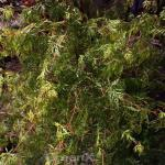 Schlitzfächerahorn Emerald Lace 60-80cm - Acer palmatum