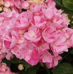 Bauernhortensie Sweet Fantasy® 30-40cm - Hydrangea macrophylla