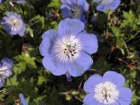 Wiesen Storchschnabel Rozanne - großer Topf - Geranium pratense
