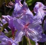 Wild - Rhododendron Aquamarin 25-30cm - Rhododendron augustinii