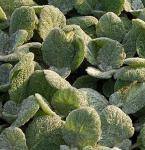 Silber Salbei Artemis - Salvia argentea