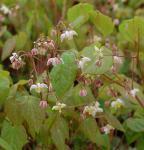 Flaumige Elfenblume - Epimedium pubigerum