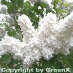 Edelflieder Florent Stepman 60-80cm - Syringa vulgaris