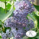 Edelflieder Amethyst - Kircher-Collection 80-100cm - Syringa vulgaris