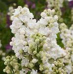 Edelflieder Frau Holle - Kircher-Collection 80-100cm - Syringa vulgaris