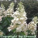 Rispenhortensie Kyushu 40-60cm - Hydrangea paniculata